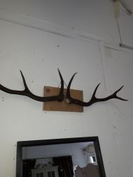 A few sets of rustic antlers on boards £30 per set.